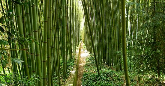 Coltivare Bamb Gigante In Italia.Un Nuovo Business Italiano Il Bambu Gruppo Maurizi